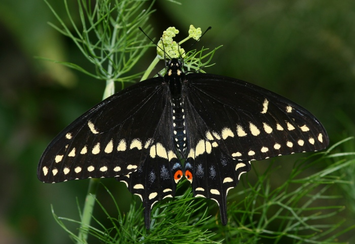 blackswallowtailbutterflymale